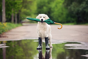 Dog carrying umbrella in its mouth